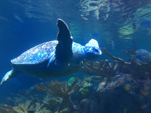Myrtle the Turtle swimming, flapper flying