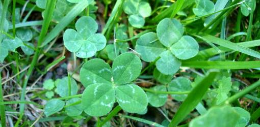 julie-blog-yard-full-of-clover-1
